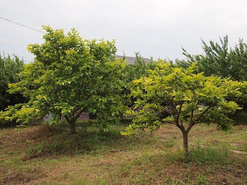 500柿の木3