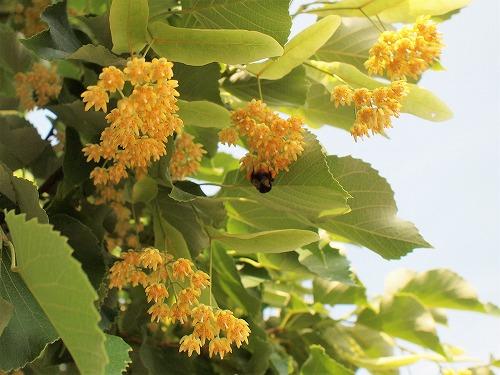 500菩提樹の花17060906