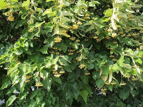 500菩提樹の花17060905