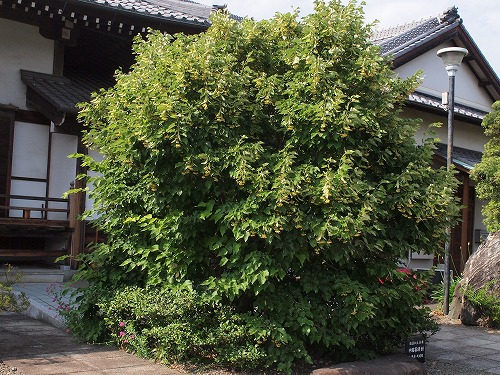 500菩提樹の花17060904