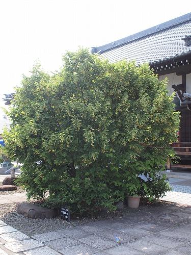 500菩提樹の花17060903