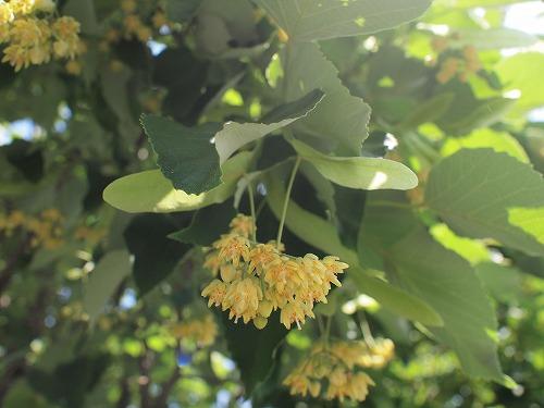 500菩提樹の花17060902