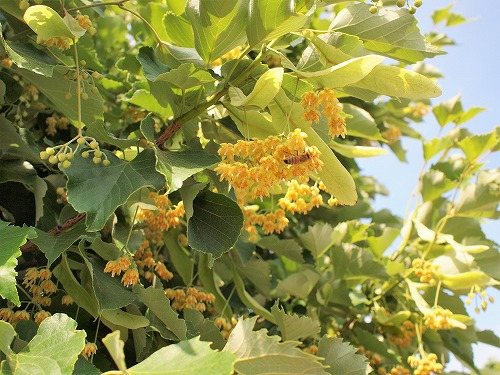 500菩提樹の花17060907