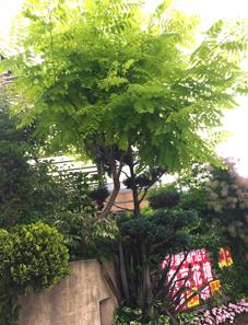 花壇のニセアカシア