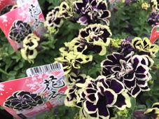 ペチュニア 花衣 黒真珠