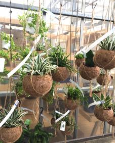 観葉植物ヤシの吊鉢