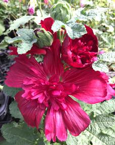 タチアオイ花
