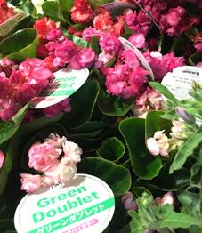 八重咲きベゴニア グリーンダブレット