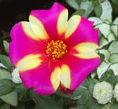 ポーチュラカ デュナの花