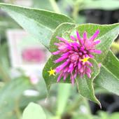 センニチコウ ファイヤーワークスのお花