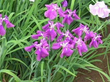 10紫の菖蒲0614