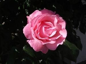 170613手元のバラ