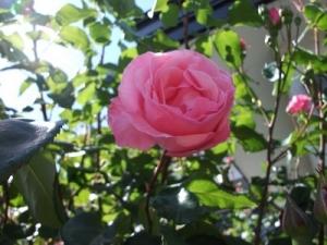 170613目線上のバラ