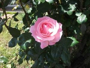 170613足元のバラ