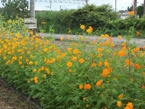 170831オレンジ色の花