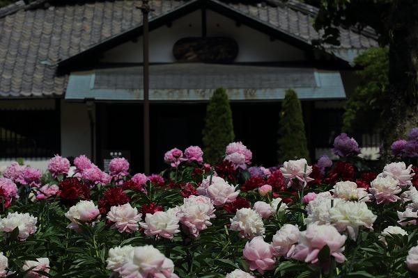 マイントピア別子芍薬祭 170518 01