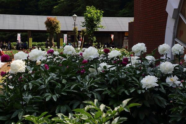 マイントピア別子芍薬祭 170518 05