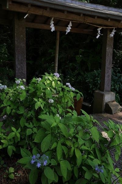 惣河内神社山紫陽花 170602 01