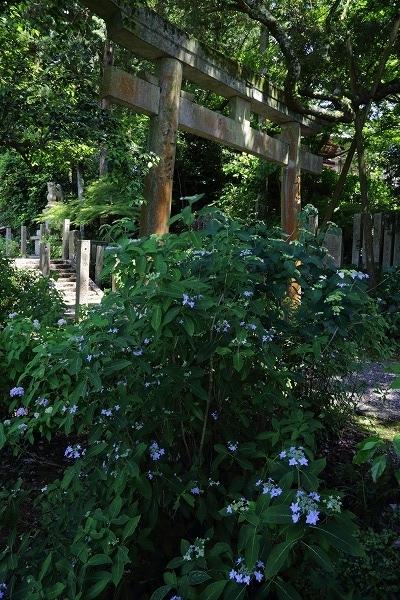 惣河内神社山紫陽花 170602 04
