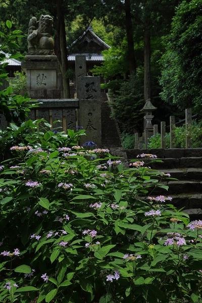 惣河内神社山紫陽花 170606 01