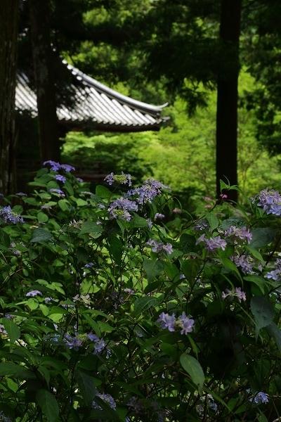 惣河内神社山紫陽花 170606 04