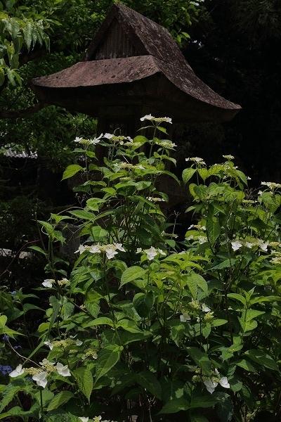 惣河内神社山紫陽花 170606 05