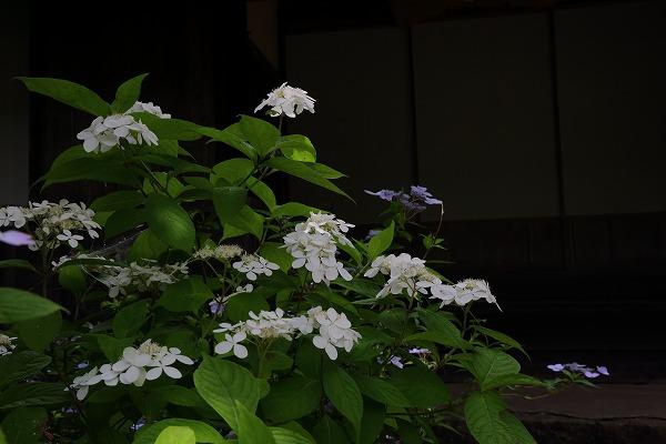 惣河内神社山紫陽花 170606 06