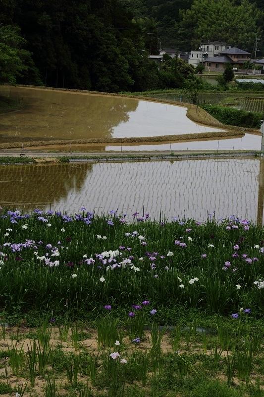 浄瑠璃町花菖蒲 170612 01