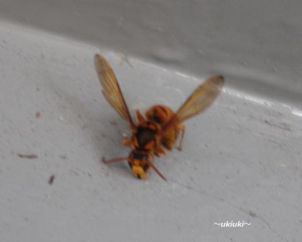 スズメバチ-2