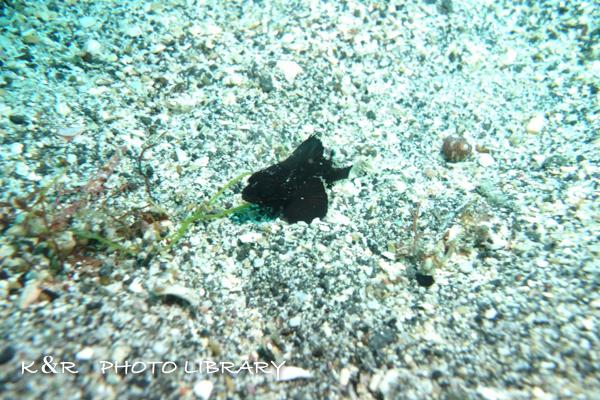 2016年7月31日富戸4ヒレナがカサゴの幼魚