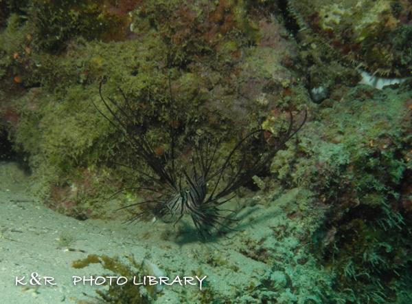 2016年11月3日奄美大島・赤崎6ハナミノカサゴ(幼魚)