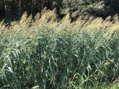 825雑穀畑高キビ