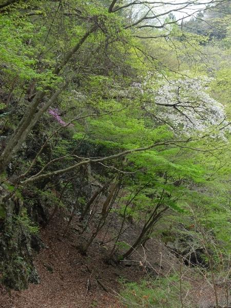 0426赤柴桜