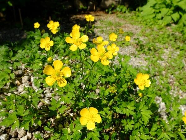 庭ミヤマキンポウゲ0521
