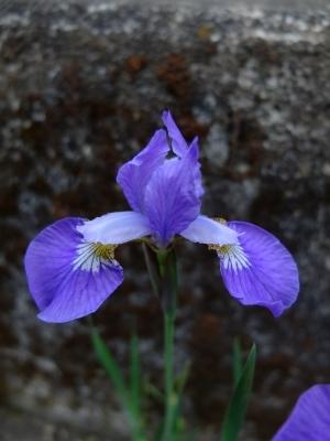 庭アヤメ淡い紫0517