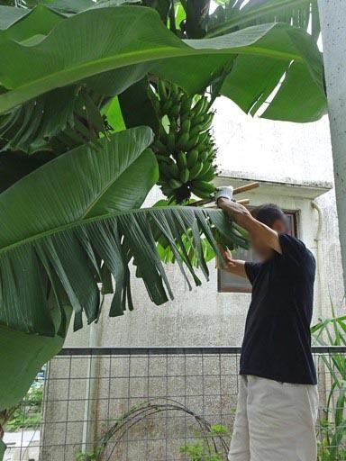 島バナナ-b DSC07548