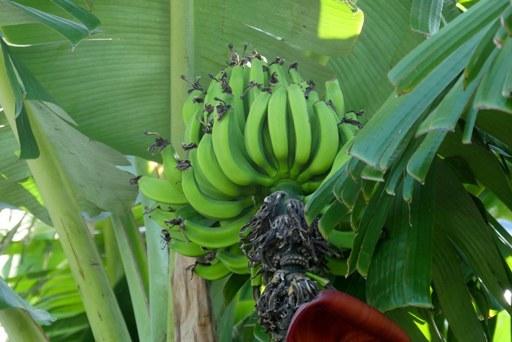 バナナ変身②-c P1110847