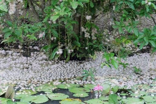 サガリ花ーg P1120561