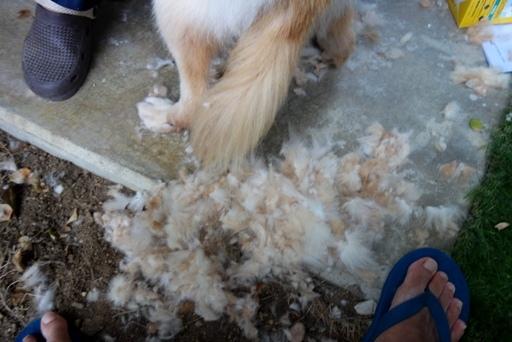 犬毛刈-c DSC03715