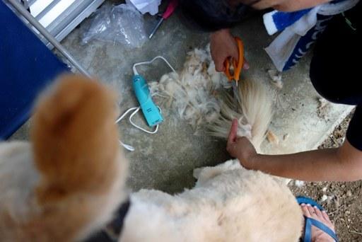 犬毛刈-d DSC03721