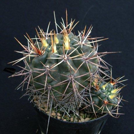 Sany0027--gibbosum ssp ferox f nobile--WP 143-212--ex Milena