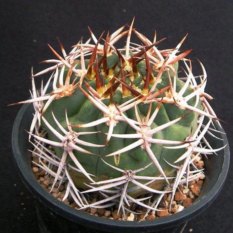 Sany0037--hybopleurum v ferocior --STO 866--mesa seed 468.87
