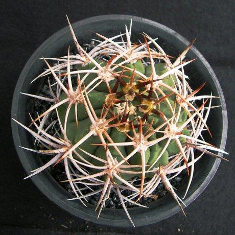 Sany0041--hybopleurum v ferocior--STO 866--Mesa seed