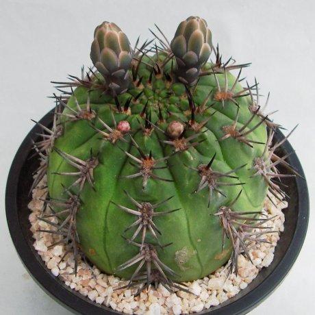 Sany0150--catamarcense f belense--VS 64--Mesa seed 460.87