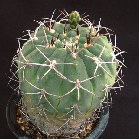 Sany0020--catamarcens f montanum--P 73B--Piltz seed