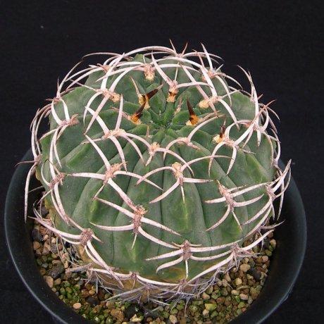 Sany0159--catamarcense fa ensispinum--OF 27-80--ex Eden 14835