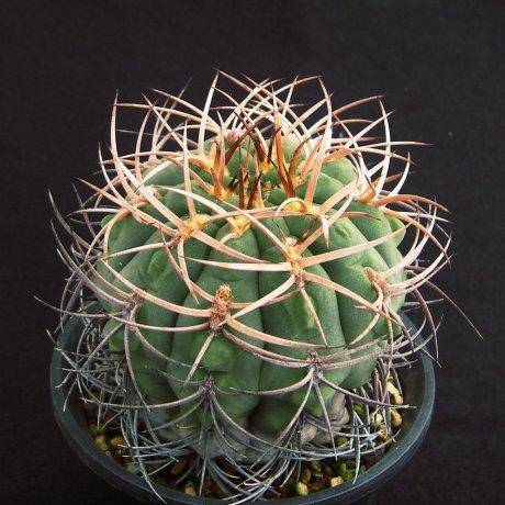 Sany0024--catamarcense v schmidianum--LB 1308--Mesa seed 460.89--ex Kousen en