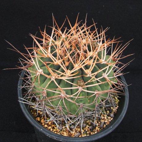 Sany0156--catamarcense ssp acinacispinum--STO 45--ex Milena