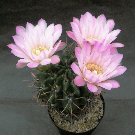 Sany0177--horridispinum--Mesa seed 468.7
