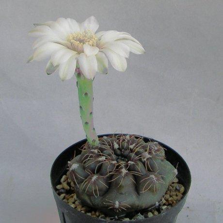 Sany0059-eroresii--STO 1831--Ruta 11 N of Vera Santa Fe--Amerhauser seed (2009)